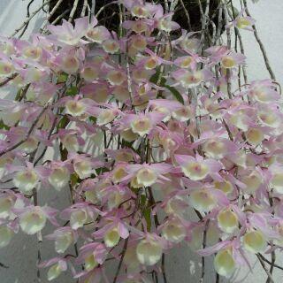 蘭花 瀑布蘭 天宮石斛