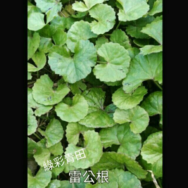 雷公根苗(台語-含殼草/蛤殼草)裸根15棵/三吋盆3盆