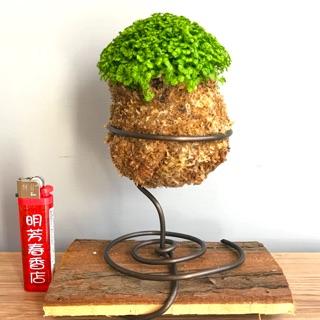 冰淇淋捲柏/室內植物/療癒植物/含底座