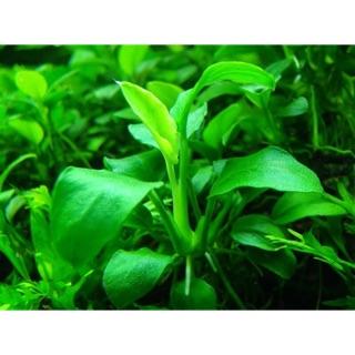 小榕(水中葉),水族造景,陰性水草