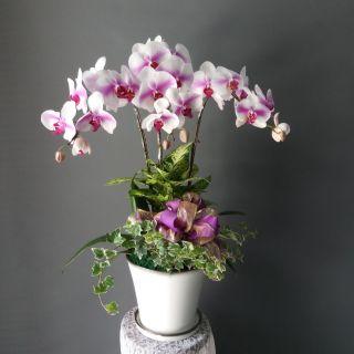 【蘭花】開幕盆栽 免運費 開店 送禮 過年 蝴蝶蘭 組合盆栽 開運