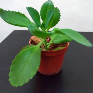 【多肉植物】蕾絲公主盆栽 附三吋盆栽 辦公室療癒小物