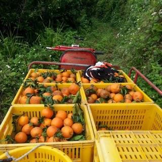 橘子-寶山桶柑(現採)