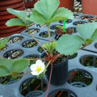 豐香草莓苗
