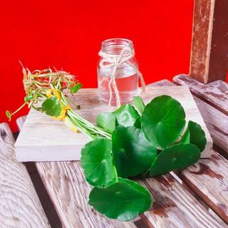 錢幣草~水耕 ~【多肉小學堂】多肉植物 仙人掌 肉肉 陽台 室內 辦公室 療癒 景觀 園藝 植作 小盆栽