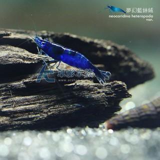 【AC草影】夢幻藍絲絨米蝦【三隻】藍米蝦 觀賞蝦 淡水蝦 蝦缸 絲絨蝦