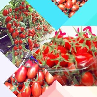 溫室牛奶番茄