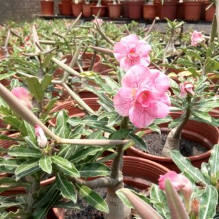 沙漠玫瑰花 重瓣種子 發芽率高 開花性極佳