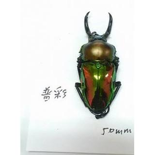 彩虹鍬形蟲(普通彩)50mm