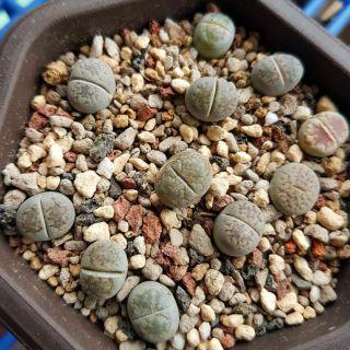 石頭玉 石生玉 多肉植物