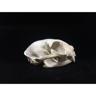 貓頭骨 標本 骨頭