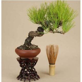xiat712%23植物-微型盆景黑松小盆景黑松盆景苗 黑松盆栽花卉五針松樹樁盆景